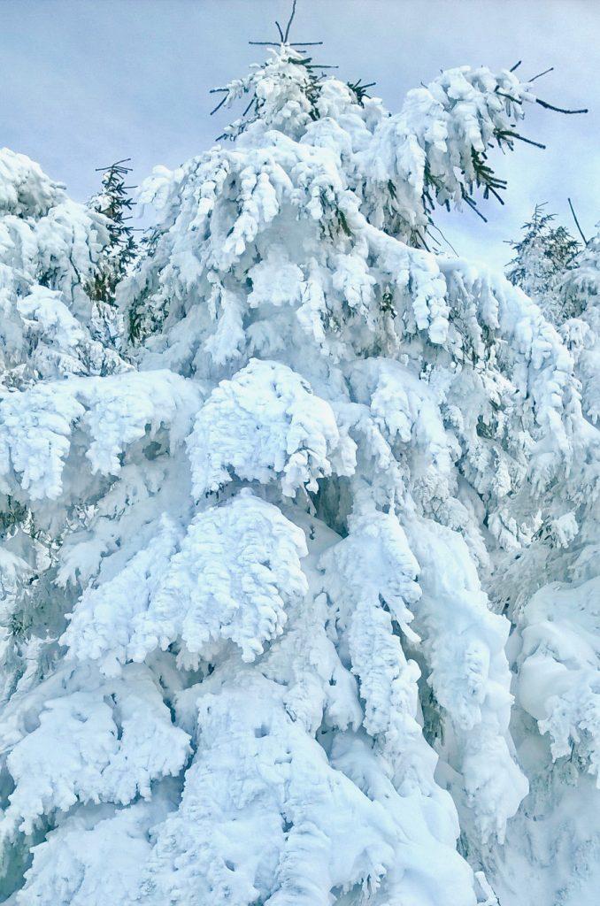 les arbres remplis de neige aux Estables